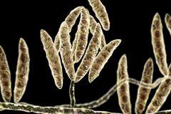 Fungi Fusarium which produce mycotoxins Stock Photography