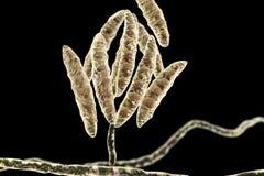 Fungi Fusarium which produce mycotoxins Stock Image
