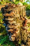 Fungi Growing On Tree Stump Stock Photos