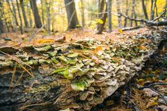 Fungi grows along a fallen tree in autumn forest stock images