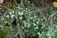 Fungi lichen, green cyanobacteria. Autumn mold royalty free stock images