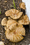 Fungi in Mulch Royalty Free Stock Photography