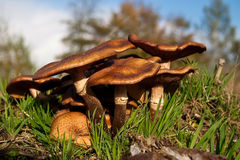 Fungi, mushrooms in a forest Royalty Free Stock Photos