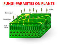 Fungi-parasites on plants. The parasitic fungi absorb their food material from the living tissues of the hosts on which they parasitize. Pathogens. education Stock Image