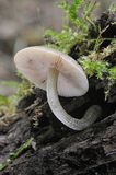 Fungi Pluteus thomsonii Stock Photo