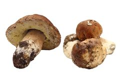 Fungi porcini right from the forest Royalty Free Stock Photo