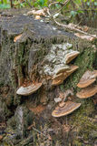 Fungi on a rotten tree trunk from close Stock Photography