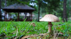 Toadstool in the Grass. Fungi toadstool popping up through the grass in the yard with a light brown umbrella Royalty Free Stock Image