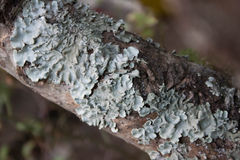 Fungi on tree branch. It fully covered Royalty Free Stock Photo