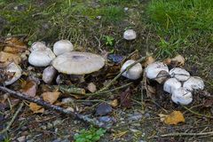 Fungi varieties growing on a woodland floor in mid September Royalty Free Stock Photo
