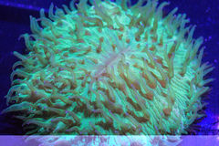 Fungia Plate Coral Royalty Free Stock Photography