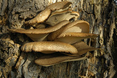Fungii on bark. Detail of fungii on bark of tree sunlet from right Royalty Free Stock Image