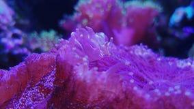 Fungiidae coralino de pulsación colonial, seta púrpura metrajes