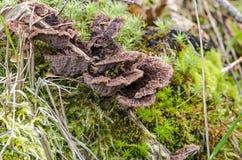 fungo Imagem de Stock