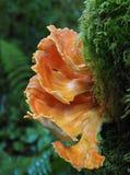 Fungo arancio del pollo che cresce su un ceppo muscoso Immagine Stock Libera da Diritti
