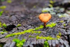 Fungo arancio su legno in foresta pluviale, Tailandia Primo piano e Se immagine stock libera da diritti