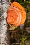 Fungo arancio su un albero fotografia stock libera da diritti
