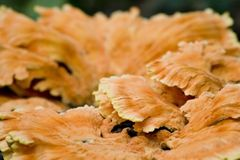 Fungo arancione Fotografia Stock Libera da Diritti