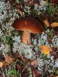 Fungo bianco commestibile che cresce su un muschio Fotografia Stock Libera da Diritti