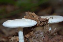 Fungo bianco nella foresta Immagine Stock