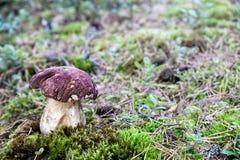 Fungo bianco in una radura della foresta Fotografia Stock Libera da Diritti