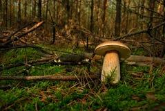 Fungo (boletus edulis) Fotografia Stock Libera da Diritti