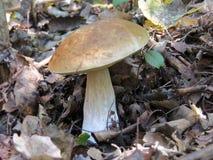 Fungo branco Imagem de Stock