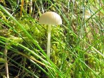 Fungo branco, cogumelos, imagem de stock royalty free
