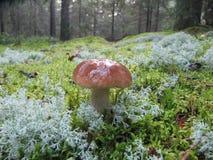 Fungo branco, cogumelos, foto de stock royalty free