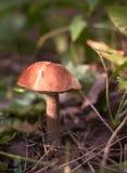 Fungo commestibile (boletus della marrone-protezione) Immagini Stock Libere da Diritti
