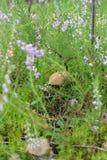 Fungo commestibile nell'erba fotografie stock