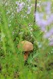 Fungo commestibile nell'erba immagine stock