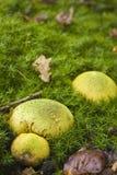 Fungo comune di Earthball, dermatosclerosi Citrinum Immagine Stock Libera da Diritti