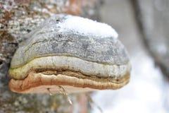Fungo con un ramoscello sul fondo del ghiaccio della neve della betulla dell'albero immagini stock