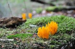 Fungo corale Fotografia Stock