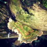 Fungo da árvore Fotografia de Stock