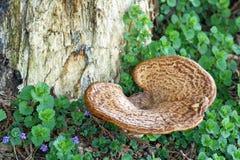 Fungo da árvore do cogumelo que cresce da base de uma árvore enorme Fotos de Stock Royalty Free