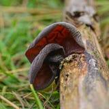 Fungo da aurícula-judae do Auricularia imagens de stock