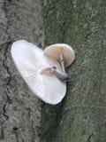 Fungo da porcelana que cresce na casca de árvore da faia imagem de stock royalty free