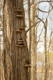 Fungo de cogumelo da prateleira na árvore inoperante imagens de stock