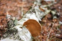 Fungo de madeira Foto de Stock Royalty Free