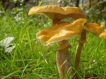 Fungo de mel (mellea do Armillaria) Imagens de Stock Royalty Free