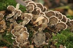 Fungo de Polypore nos schollenbos em Capelle Aan Den Ijssel nos Países Baixos imagens de stock royalty free
