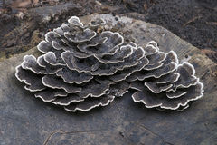 Fungo de Turkeytail Fotografia de Stock Royalty Free