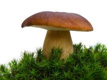 Fungo del Bolete in muschio isolato su wh immagini stock