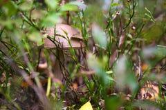 Fungo del boletus del cappuccio di Brown Fotografie Stock