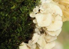 Fungo del comune di Schizophyllum Fotografie Stock Libere da Diritti