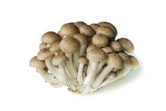 Fungo del faggio di Brown isolato su bianco Fotografie Stock