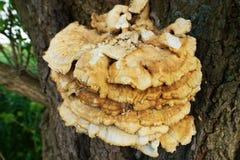Fungo del hub che cresce su un tronco di albero fotografia stock