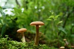 Fungo del terreno boscoso Fotografia Stock
